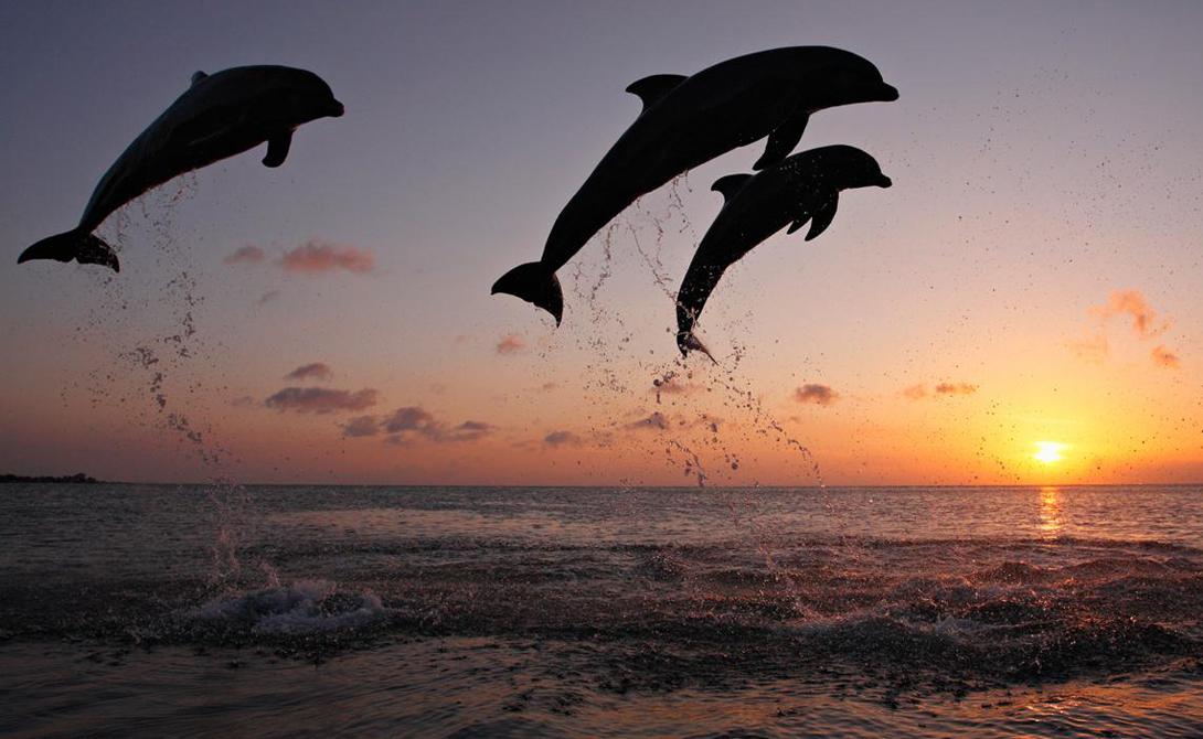 Ответственность за гибель молодняка несут старшие особи мужского пола. Дельфины сбиваются в стаи и забивают новорожденного теленка, чтобы спровоцировать новую течку у самки-матери. Такое поведение порождает ответную защитную реакцию: самки стараются спариться с членами разных стай, чтобы обезопасить будущего ребенка — родной отец нападать на него не будет.