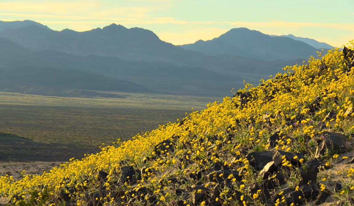 Тысячи цветов распустились в этом месяце, что превратило Долину Смерти в настоящий ботанический сад.