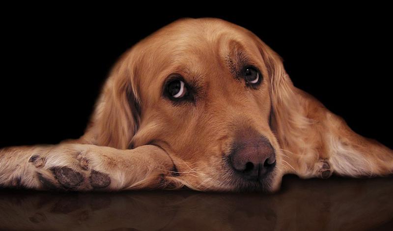 Замкнутость Собаки — существа очень дружелюбные. Они склонны проводить большую часть времени с хозяином, могут радоваться гостям и не стремятся к одиночеству. Первый признак депрессии очень заметен: пес перестает радоваться и вам, и вашим друзьям. Вяло реагирует на события в доме, предпочитая всем занятиям лежать в углу, свернувшись в клубок.