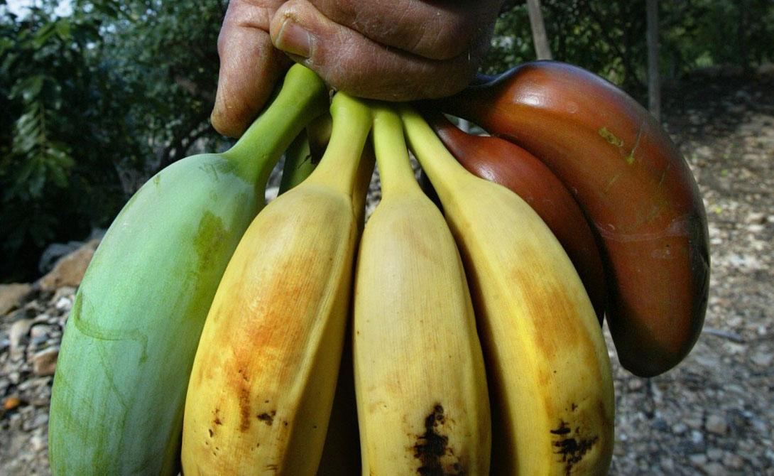 Биологи до сих пор пытаются найти рациональный метод усмирения опасного штамма. На данный момент большая часть бананов по всему миру подвергается генетическим модификациям — о чем не торопятся трубить газеты и производители.