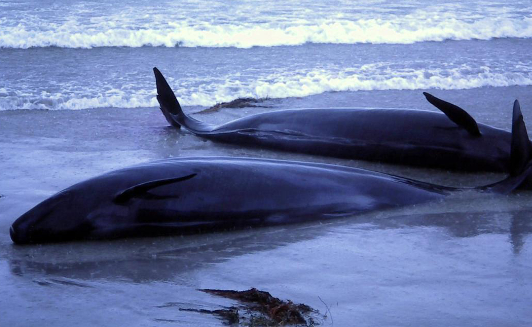 Иногда раненых товарищей буквально выталкивают на берег бывшие друзья. Рыбаки несколько раз наблюдали, как стаи дельфинов носами приводили раненого члена стаи прямо к берегу и уплывали прочь.