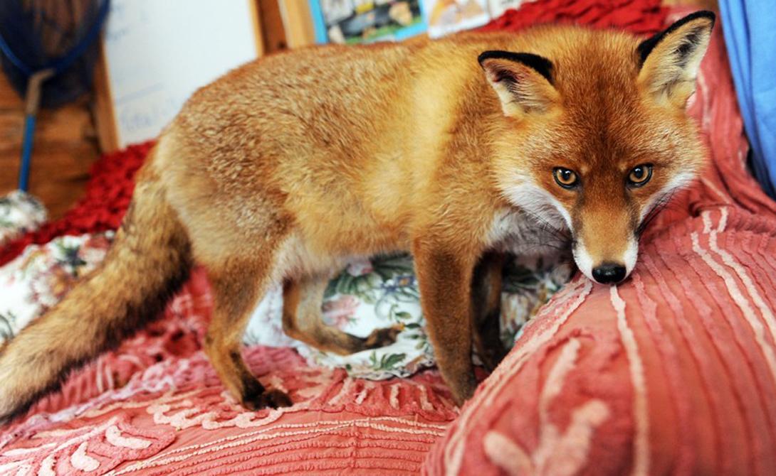 Другие животные Хотя на воле лисы предпочитают жить в одиночку, это вполне контактные животные. Они очень быстро подстраиваются под уже существующую в доме иерархию и отлично находят общий язык как с собаками, так и с кошками.