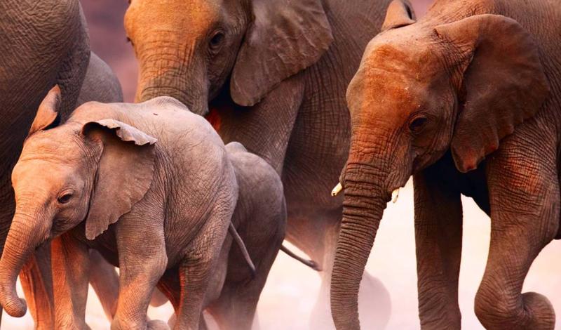 Слоновье безумие Лес Чандка страдал от засухи весь 1972 год. Жара и полное отсутствие воды свело местных слонов с ума: они ринулись на ближайшую деревню и растоптали 25 человек. Еще пять деревень были спешно эвакуированы.
