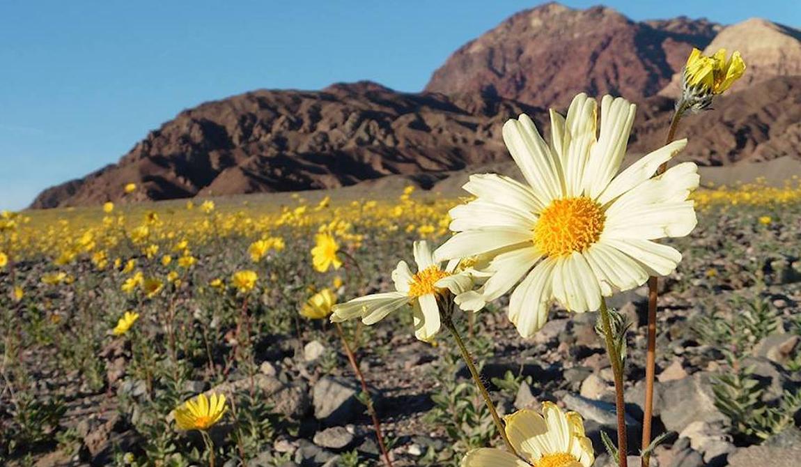 Первый же дождь вызывает ускоренный рост семян. Бесплодная долина в одночасье превращается в цветущее поле.