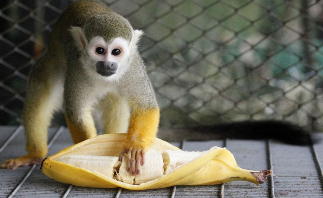 Некоторые ученые стараются найти другой путь. Лабораторные опыты показали, что можно попробовать восстановить уже исчезнувшие сорта банана, которые могут быть стойкими к существующим болезням. К сожалению, результатов работы селекционеров придется ждать еще долго. А пока — нам всем придется довольствоваться тем, что предлагают генные инженеры. Приятного аппетита!