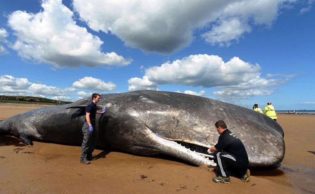 Судя по всему, такое поведение обусловлено целым рядом различных факторов. Иногда массовое выбрасывание происходит только с ранеными или больными членами стаи. Больные киты подбираются ближе к берегу просто потому, что им тяжело находиться на глубине, все остальное делает прибой.