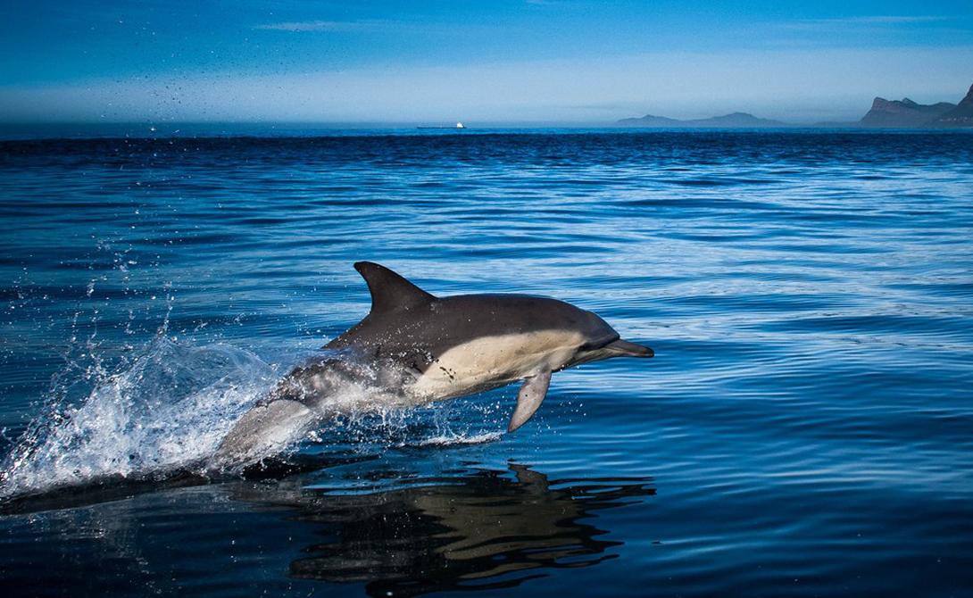 Умница Акекамай очень быстро усвоила эту логическую цепочку. Более того, она начала общаться при помощи новых звуков — когда этого требовали ученые. По сути, дельфин сумел выучить иностранный язык.