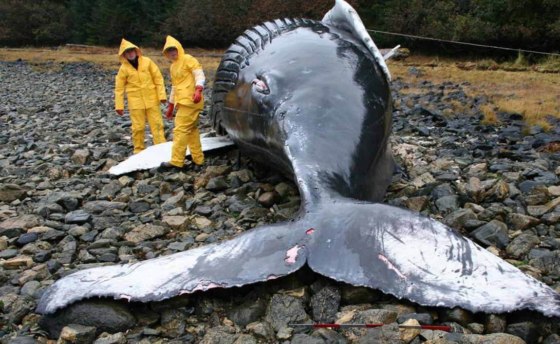Дельфины и киты могут даже выбрасываться на один и тот же берег одновременно: совсем недавно целый десяток китов-пилотов покончили с собой на пляже в Кале — ученые так и не поняли, почему.