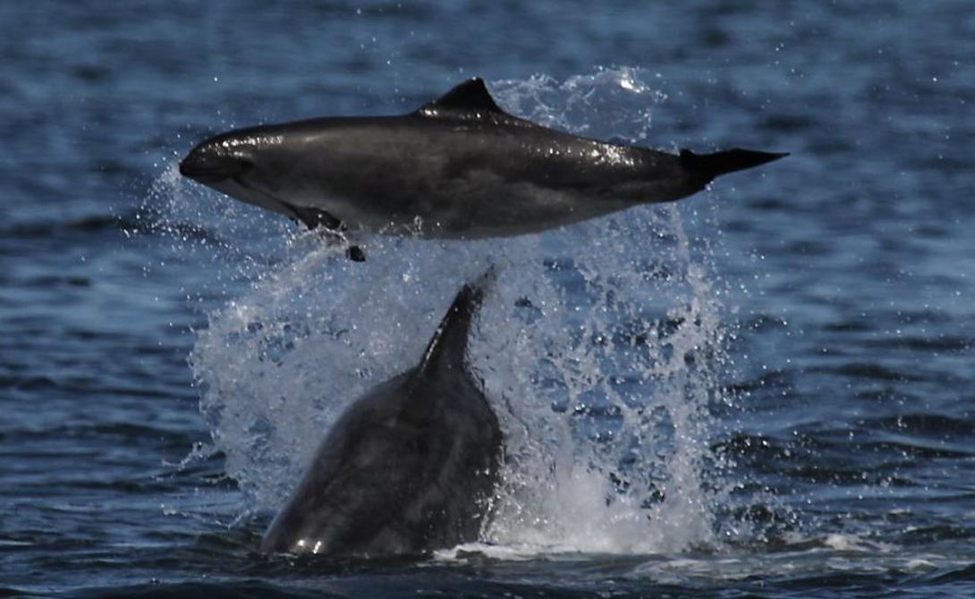 Как выяснилось позднее, это — стандартное брачное поведение дельфинов. В период спаривания самцы могут сбиваться в группировки по 12 и более членов: так легче принудить самку к содействию.