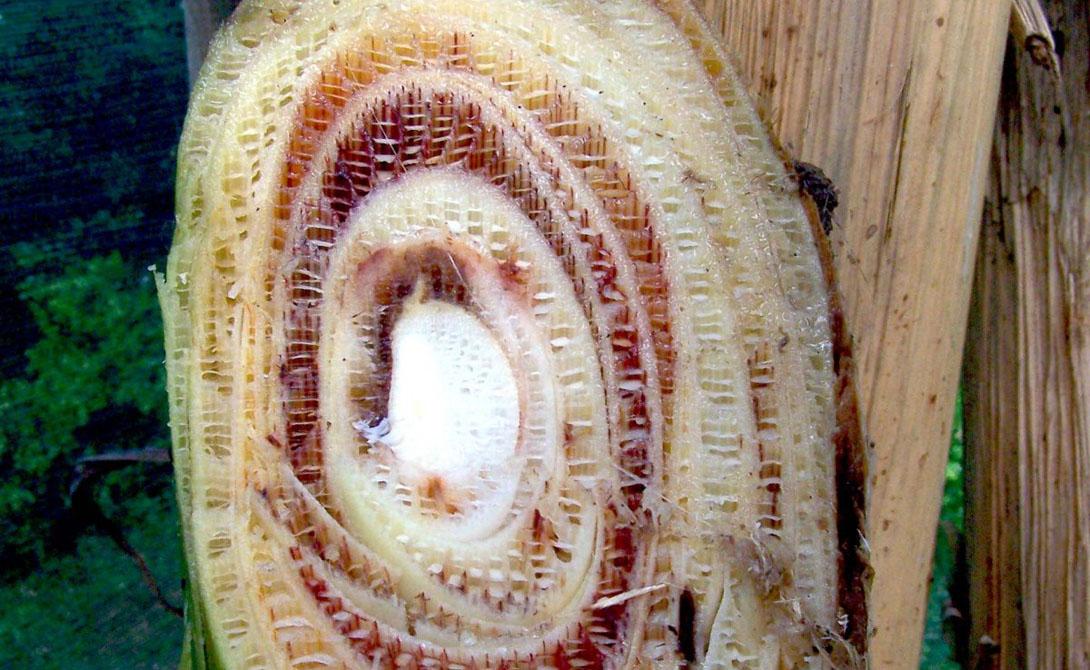 Бананы «Кавендиш» были стерильны. А значит, единственный способ их выращивать — биологические разработки. Что, как вы сами понимаете, не самая безопасная в мире штука.