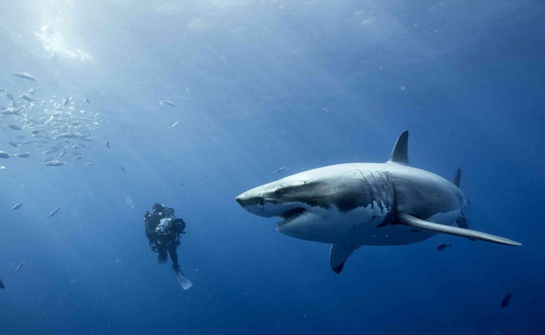 Большая белая акула Этот легендарный хищник никак не может определиться с диетой. Собственно, большая белая акула предпочитает попробовать на зуб все, что попадает в поле ее зрения — а вдруг вкусно. Буйки, лодки, доски для серфинга, люди, не важно. Вопреки распространенному мнению, белые акулы не людоеды. Мы для них слишком костистые. Хищник, скорее всего, просто оставит вас истекать кровью в открытом море и поплывет искать что-то более интересное.