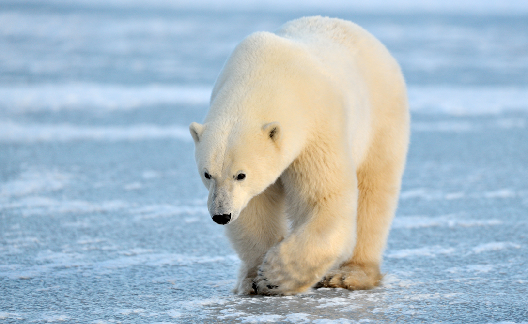 Белый медведь В отличие от большинства животных, белый полярный медведь человека не боится. Собственно, он вообще ничего не боится: у белого медведя нет природного врага. Эти ребята неторопливо бродят по своим ледяным владениям и поедают все, что кажется им питательным, включая других полярных медведей.