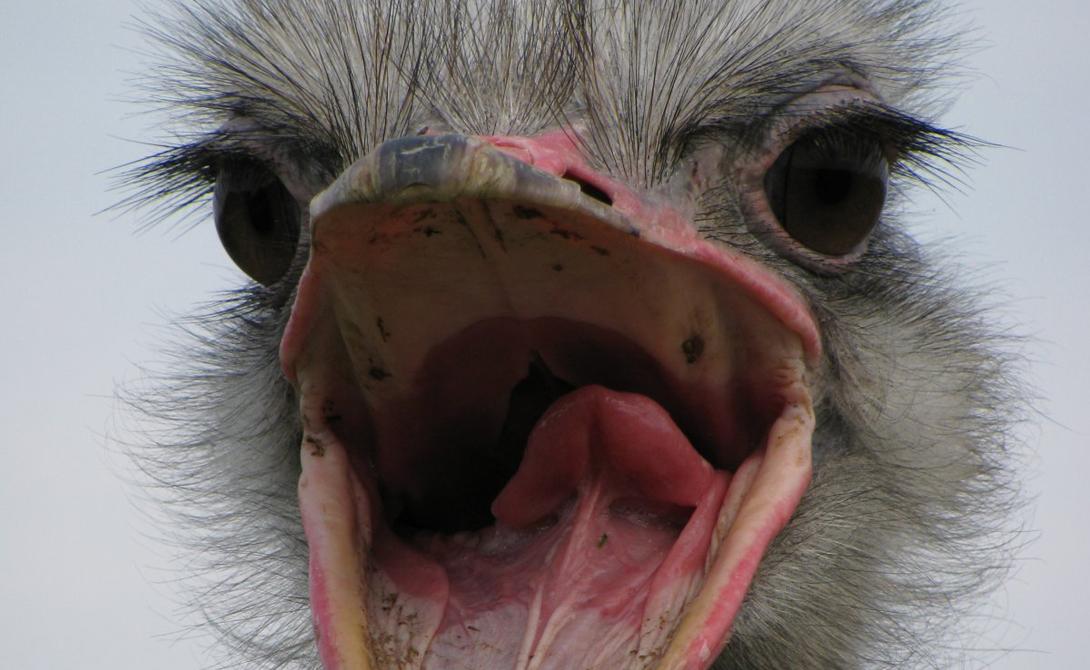 Страус Разозлить страуса — не самое разумное решение. Эти птицы ревностно охраняют свою территорию и кидаются на каждого нарушителя. Скорость страуса может достигать восьмидесяти километров в час, так что убежать не получится. В довершение ко всему на лапах у страуса имеются острые когти, одним ударом которых он может пропороть живот кому угодно.