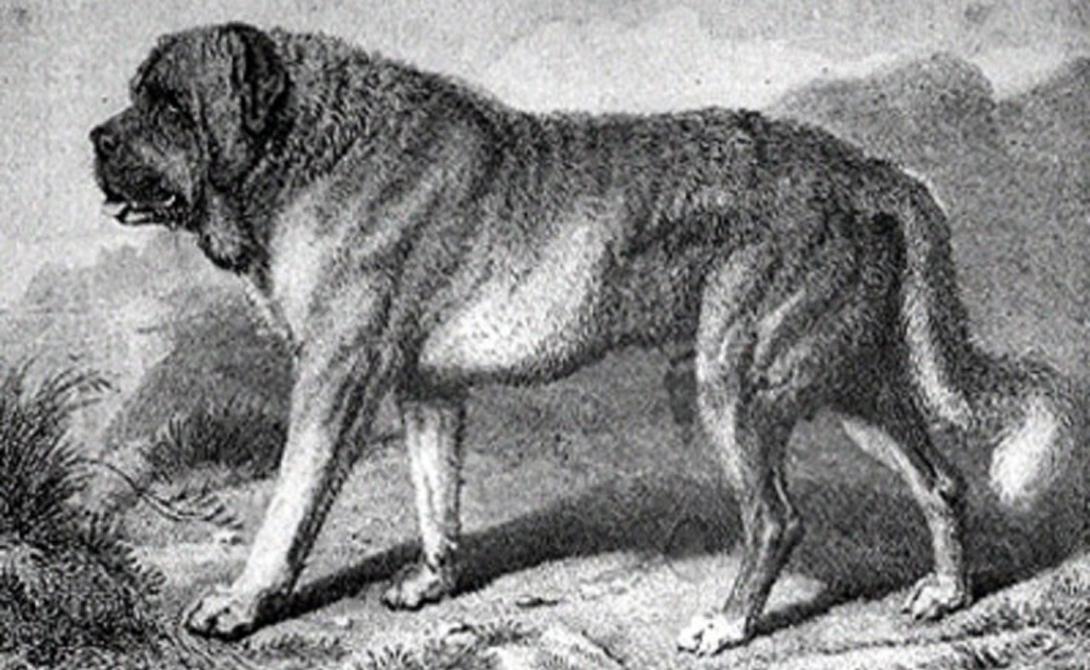 Альпийский мастиф Жители альпийских предгорий специально вывели собственную породу собак, отличающуюся весьма густой шерстью. Как и нынешние сенбернары, альпийские мастифы часто использовались как спасатели. К сожалению, неизвестная болезнь полностью уничтожила породу еще в середине девятнадцатого века.