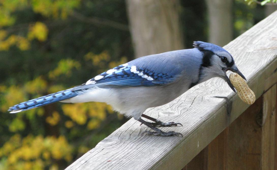 Синяя сойка Синие сойки кажутся вполне безобидными существами. Они питаются насекомыми и орехами — но не прочь украсть яйца других птиц. Приближаться к гнезду синей сойки — значит сознательно рисковать своими глазами. Эта небольшая птичка защищает территорию с отвагой африканского льва: орнитологам известны случаи нападения сойки на ястребов, енотов, кошек, белок и змей.