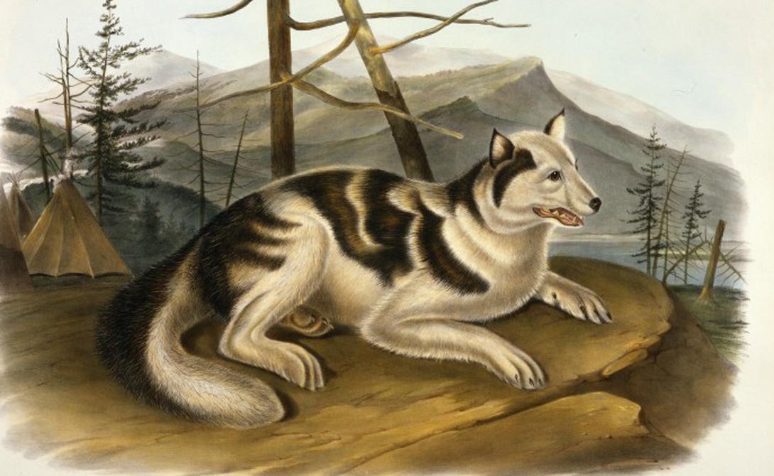 Сальские шерстяные собаки Коренные обитатели Британской Колумбии никогда не разводили овец. Шерстью для бытовых надобностей этих людей обеспечивали другие животные. Одеяла, пончо, накидки — сальские шерстяные собаки были не только верными друзьями и хорошими охранниками, но и бесценным источником жизненно важного ресурса. Порода исчезла, когда на материке появились первые европейцы: завезенные ими овцы сняли потребность в собачьей шерсти.