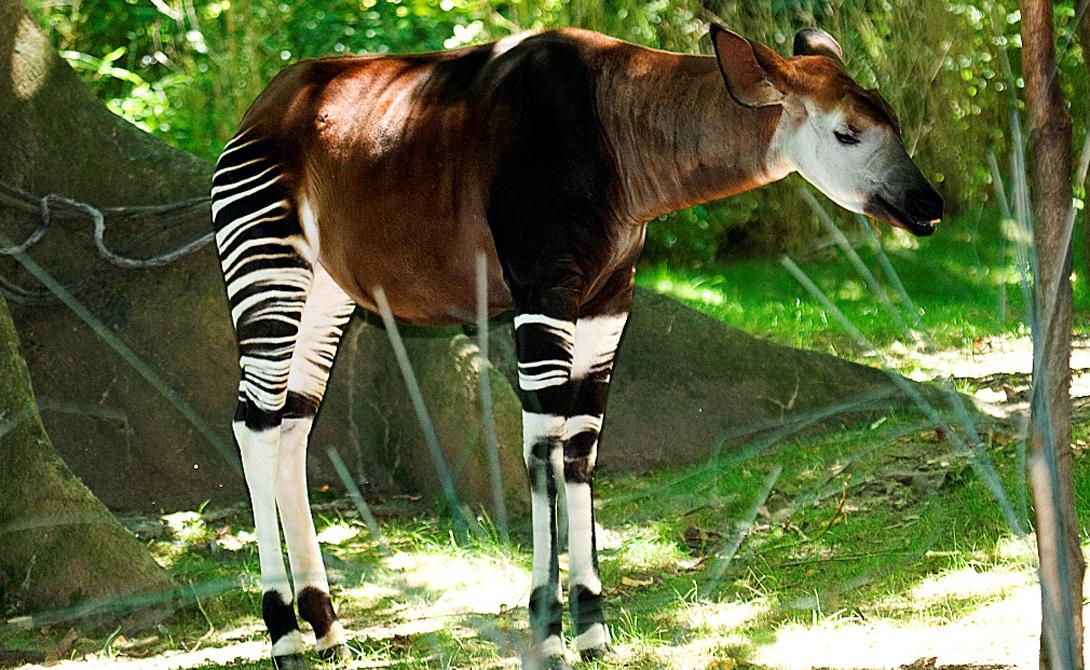 Окапи Сложно описать, как именно выглядит это животное: окапи будто вобрал черты сразу нескольких видов. Такая особенность позволяет ему удачно вписываться в любое окружение и прятаться от хищников. Длинная шея, как у жирафа, тело лошади и окрас, напоминающий о родстве с зеброй — окапи настолько поражает воображение, что местные жители (Демократическая Республика Конго) приняли его в качестве национального символа.