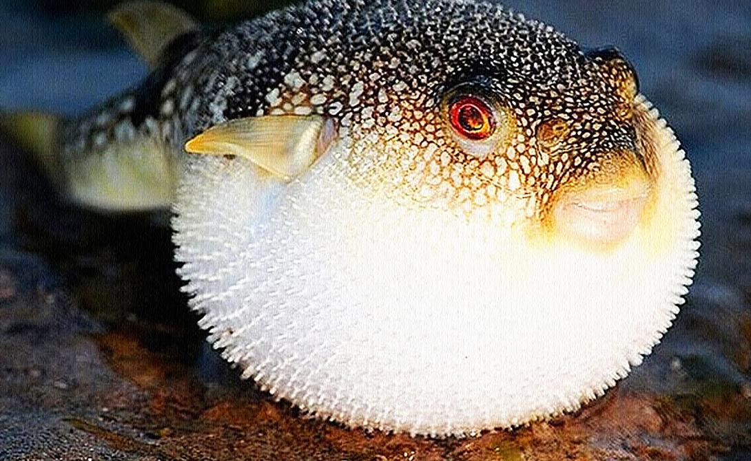Рыба фугу Рыба считается одним из самых ядовитых созданий в мире. Однако, рисковые японцы почитают фугу большим деликатесом. Яд фугу парализует диафрагму и человек просто умирает от удушья — одна ошибка повара может стоить вам жизни.