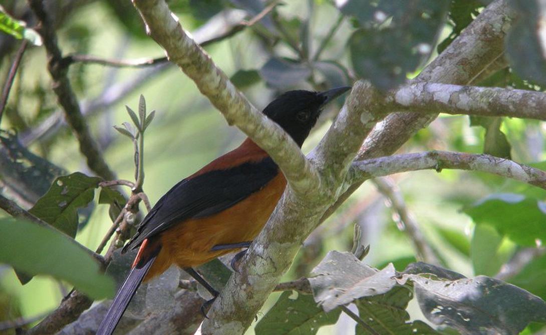 Двуцветный питохуи Живут эти странные небольшие птички в лесах Новой Гвинеи. Охотиться на них смертельно опасно: кожа, перья и внутренние органы Pitohui dichrous содержат огромное количество батрахотоксина — яда, который в сто раз сильнее стрихнина. Ученые до сих пор не могут понять причин такого финта природы, ведь эта птица — далеко не охотник.