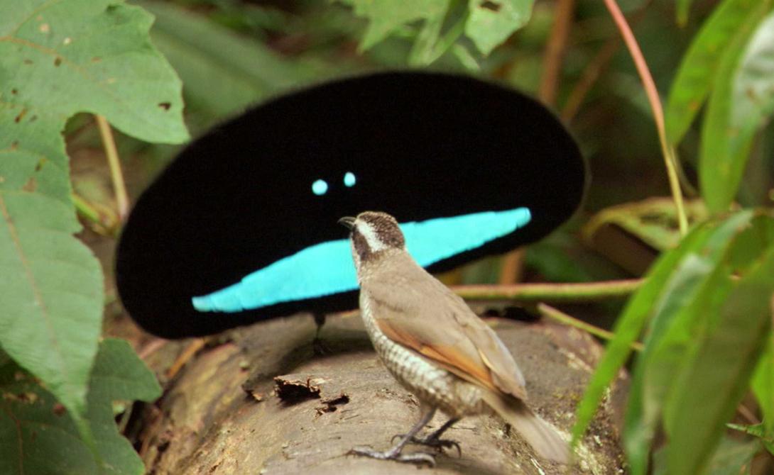 Чудная райская птица Да, вид именно так и называется. Эти удивительные создания значительно отличаются от обычной райской птицы оперением, окраской и брачными играми — настолько необычными, что поглазеть на них собираются туристы со всего мира.