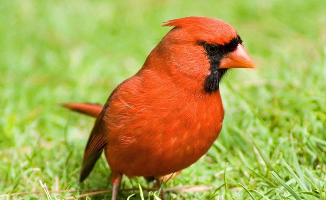 Красный кардинал И еще одна небольшая птичка, способная стать источником больших неприятностей. Самцы кардинала чрезвычайно агрессивны, особенно в период спаривания. Они готовы защищать свою территорию до последней капли крови — особенно от собратьев. Красные кардиналы частенько разбиваются насмерть о стекла домов, приняв отражение в них за соперника.