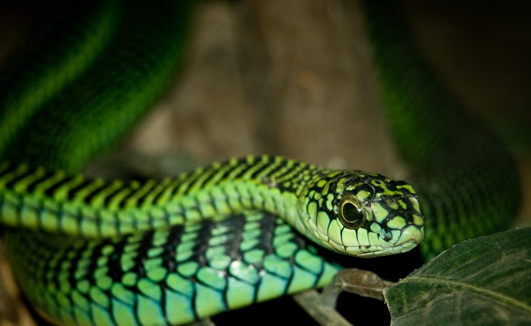 Бумсланг Бумсланги — относительно застенчивые змеи, редко нападающие на людей. Однако, такие прецеденты есть. Яд бумсланга содержит гемотоксин, предотвращающий свертываемость крови, то есть жертва истекает кровью из каждой поры тела до самой смерти.
