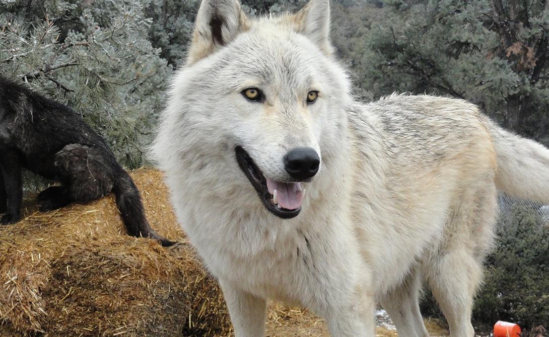 Волкособ Как следует из названия породы, перед нами — гибрид волка и собаки. Следовательно, волкособы обладают набором ген, которые формируют непредсказуемый, опасный тип поведения. Таких собак используют в военных целях, дома же заводить волкособа несколько странно.