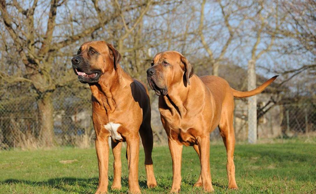 Тоса-ину Тоса-ину — массивный пес. Порода изначально задумывалась как бойцовая, норов собак очень крутой. Собственно, он настолько крутой, что в некоторых странах владеть Тоса-ину просто незаконно.