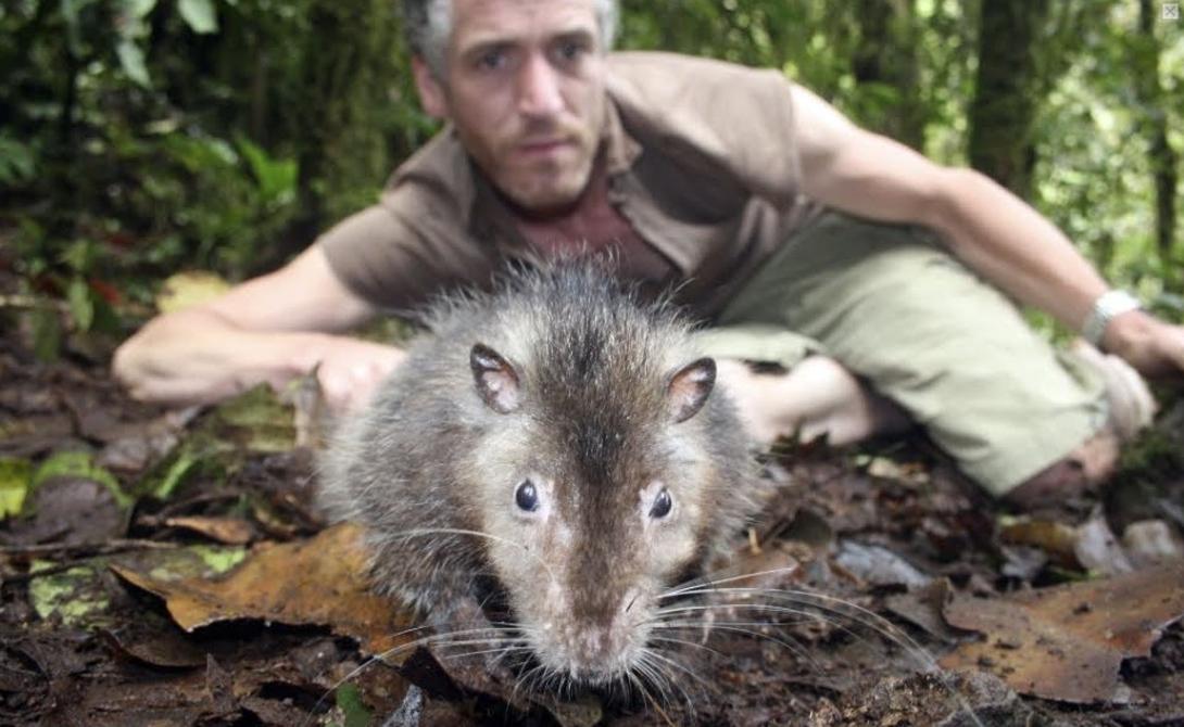 Новый вид крыс открыла съемочная группа BBC, прибывшая на остров Суматра совсем с другими целями. Ученые собирались снимать документальный фильм о вулканах и установили на склоне одного из них несколько камер. Инфракрасное оборудование засекло излучение существа необычных размеров.