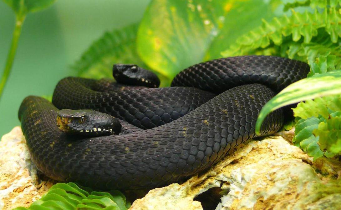 Черная мамба Длина: 4,5 метров Одного укуса черной мамбы хватит, чтобы свалить буйвола. Человек же почти не имеет шанса выжить: яд слишком быстро распространяется по организму. Ко всему прочему, эта змея невероятно быстра и способна развивать до 19 км/ч по ровной местности.