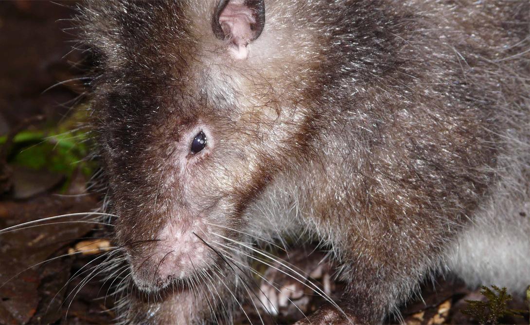 Связь с внешним миром позволила установить, что крыса является местным эндемиком. Существо ничуть не боялось людей, а выживать в условиях дикой природы ему помогала густая шерсть. Оказалось, что местные племена этот вид крыс знают давно и даже употребляют в пищу.