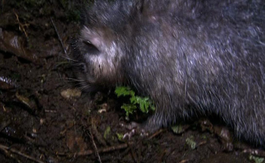 На данный момент научного названия гигантской крысе еще не присвоено — ученые так и называют ее «шерстистая крыса босави». Помимо самой крысы, ученые нашли у вулкана и еще несколько эндемичных видов, изучение которых проводится в настоящее время.