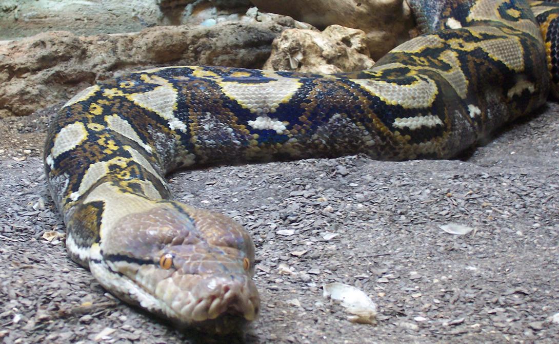 Сетчатый питон Длина: 12,2 метра Самая длинная змея в мире. Чаще всего в природе встречаются экземпляры по 7-7,5 метров, но в одном из зоопарков Австралии долгое время жил рекордсмен, питон Дейв, выросший аж до 12,2 метров.