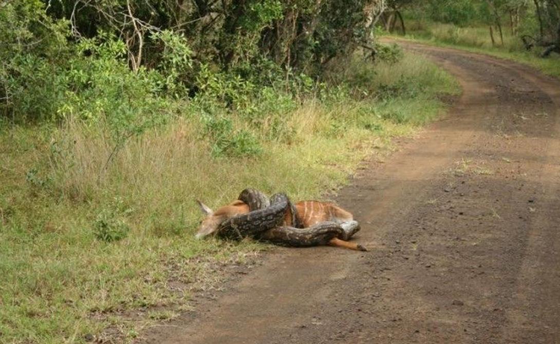 Индийский питон Длина: 6 метров Внешне индийский питон очень похож на бирманского: его даже называют светлым тигровым питоном. Окрас индийского отличается вкраплениями красноватых полосок, расположенных по бокам туловища.