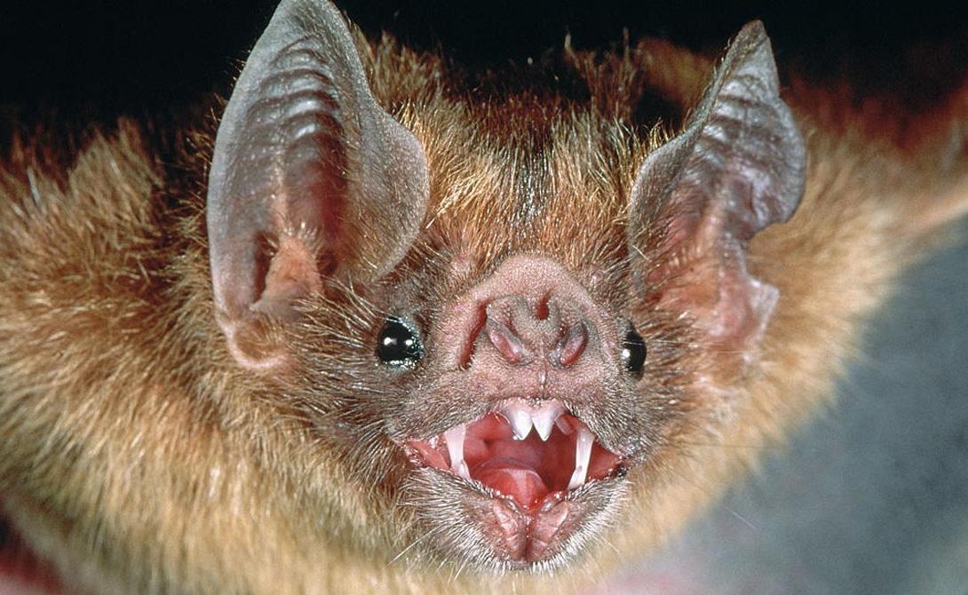 Подковонос Мордочка подковоноса больше напоминает скрученное ухо. Его по праву считают одним из самых уродливых животных планеты — зато, летучие мыши этого вида более восприимчивы к звуку, чем их менее страшненькие собратья.