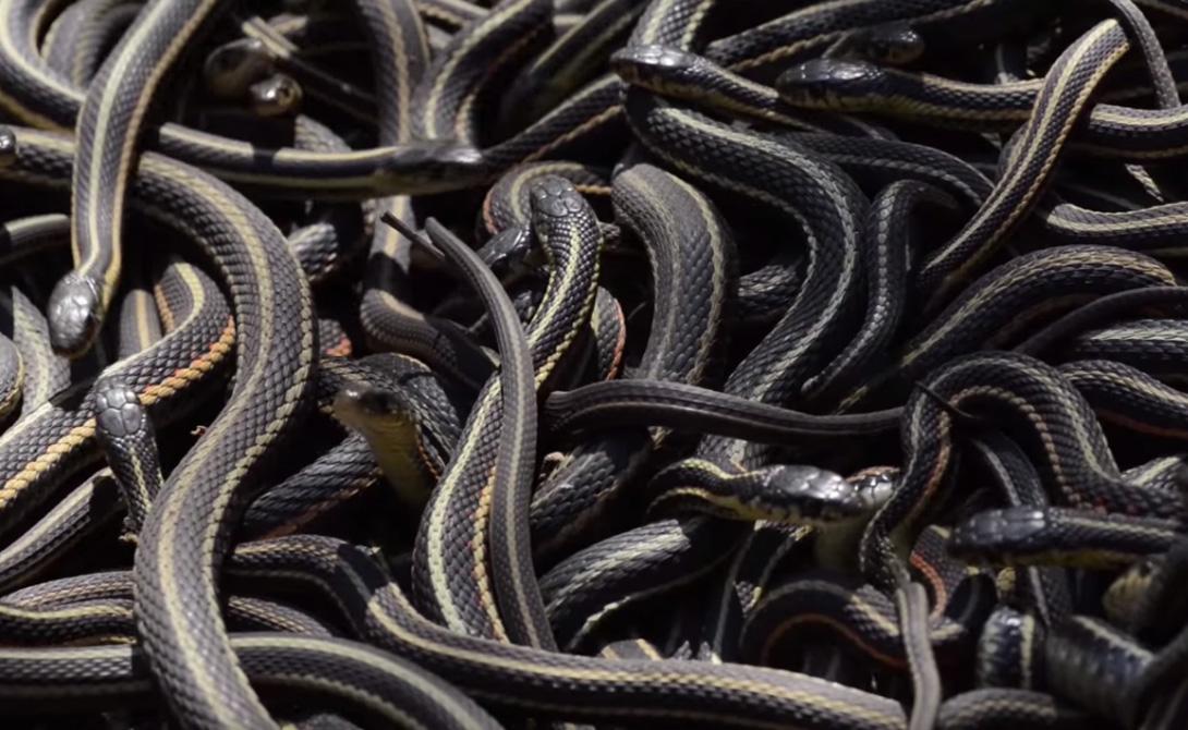 Калифорнийская краснобокая змея, или подвязочная змея, отличается весьма необычным внешним видом. В течение зимы, когда температура опускается ниже точки замерзания, они впадают в спячку на целых восемь месяцев.