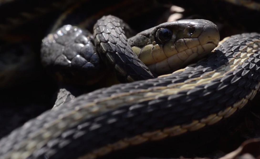 Земля Манитобы пронизана сотнями тысяч воронок, ведущих в змеиные логова. Пустоты привлекают змей, которые видят их в качестве идеальных мест для долгой зимней спячки.