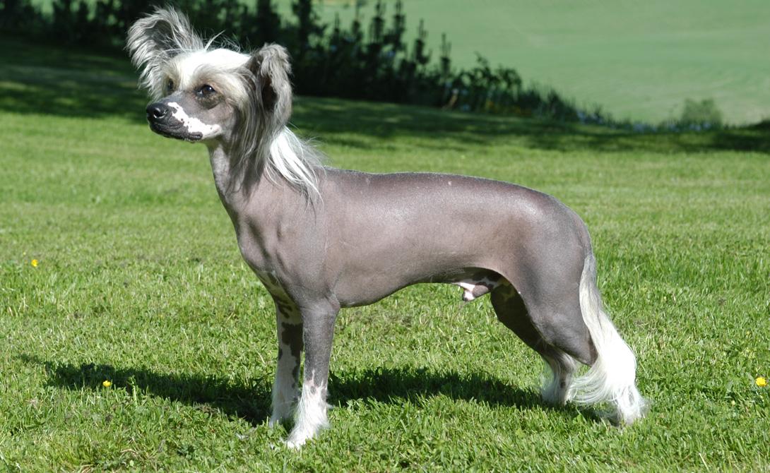 Китайская хохлатая собака Одна из разновидностей голых собак. Не вырастает выше 33 сантиметров и, в целом, напоминает чрезвычайно уродливую игрушку. Зато, собачка обладает повышенной эмпатией и очень социализирована.