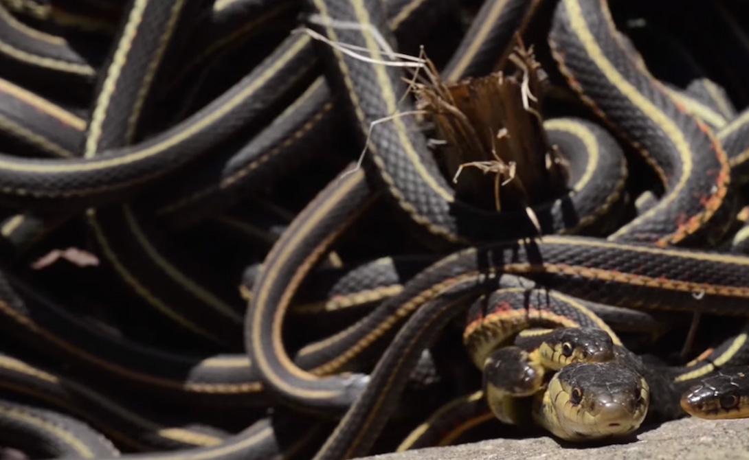 Представьте себе конкуренцию! Сотни змей, соблазненных феромонами, ластятся к единственной самке. Воздух полон неслышным шипением «Выбери меня!»