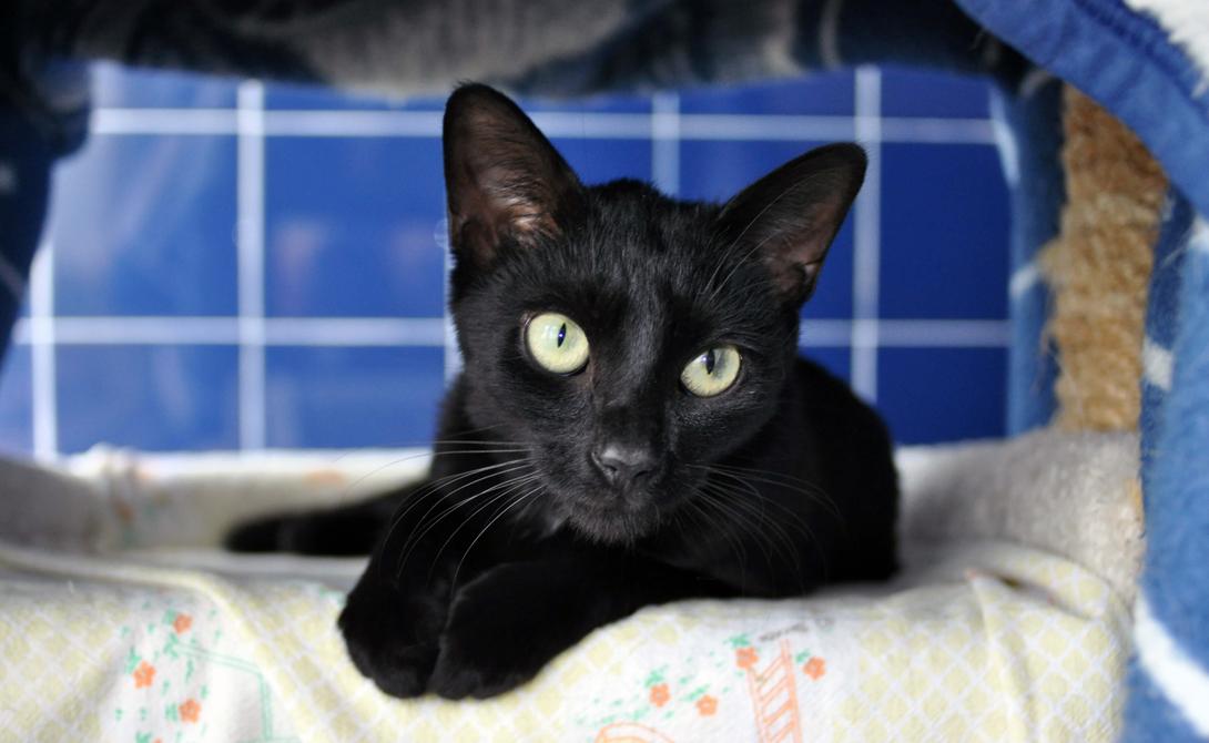 Черная кошка Котов черной окраски не любят со Средних веков. Тогда считалось, что именно таких животных выбирают себе в приспешники ведьмы и колдуны.