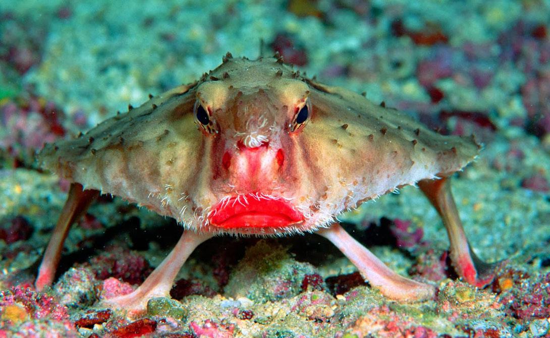 Нетопырь Дарвина Эти странные рыбы, как правило, обитают вокруг Галапагосских островов и вблизи Перу. Дайверы встречают нетопырей Дарвина на глубине более 50 метров, но очень редко.