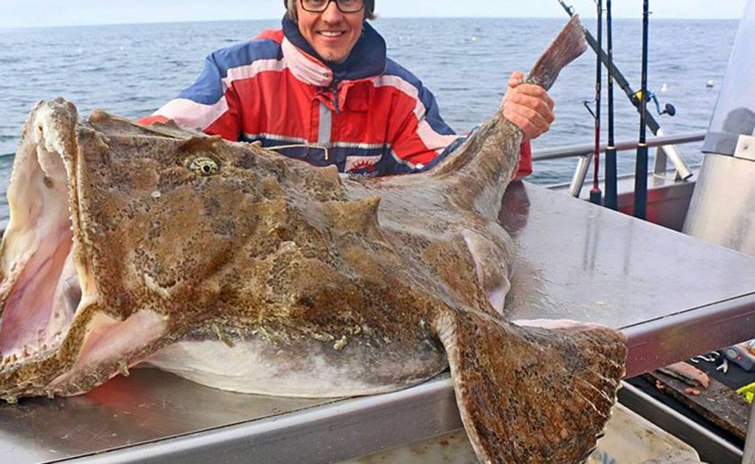Большой удильщик В течение многих лет люди не использовали удильщиков в пищу — просто потому, что те слишком уродливы. Гигантская пасть рыбешки полна острейших зубов, а ловят удильщика в прибрежных зонах Атлантического океана.