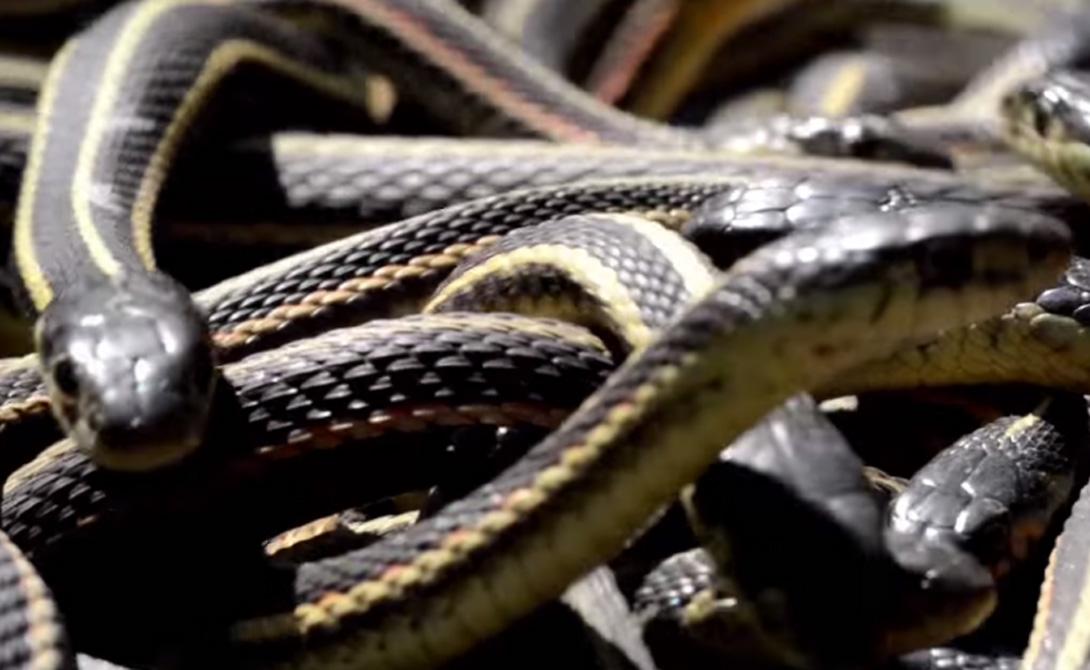 Но теплых местечек на всех не хватает. По счастью, змей не очень волнует приватность: тысячи пресмыкающихся собираются на территории, не превышающей по размеру вашу гостиную.
