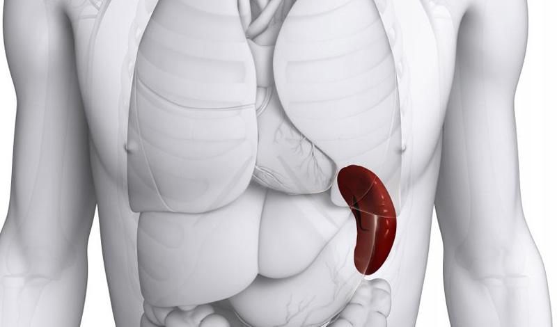 Чем больше, тем хуже Увеличенная селезенка сигнализирует о наличии определенных проблем в организме. Так можно идентифицировать, к примеру, мононуклеоз или лимфому. Кроме того, увеличенную селезенку легко повредить во время любых интенсивных действий, что приведет к опасному внутреннему кровотечению.