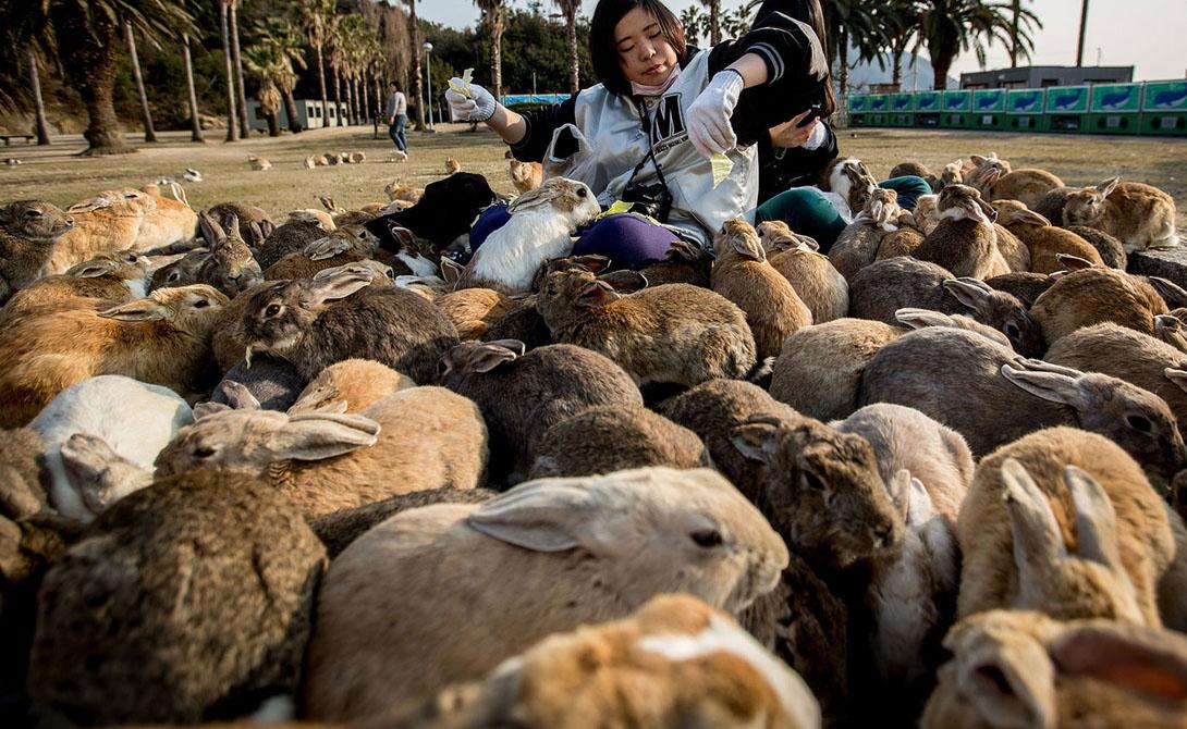 Остров Окуносима Япония Остров находится в непосредственной близости от берегов Японии, а населен он кроликами. Животные появились здесь не случайно: это потомки тех кроликов, которые являлись подопытными во время войны.