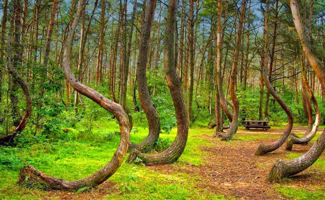 Кривой Лес Польша Этот странный лес будто был поражен заклинанием неведомого волшебника. Все деревья в нем растут изогнутыми — и никто просто не понимает, почему. Есть теория, по которой некий фермер искривлял ростки специально, чтобы изготавливать из деревьев мебель. Но куда он потом делся?