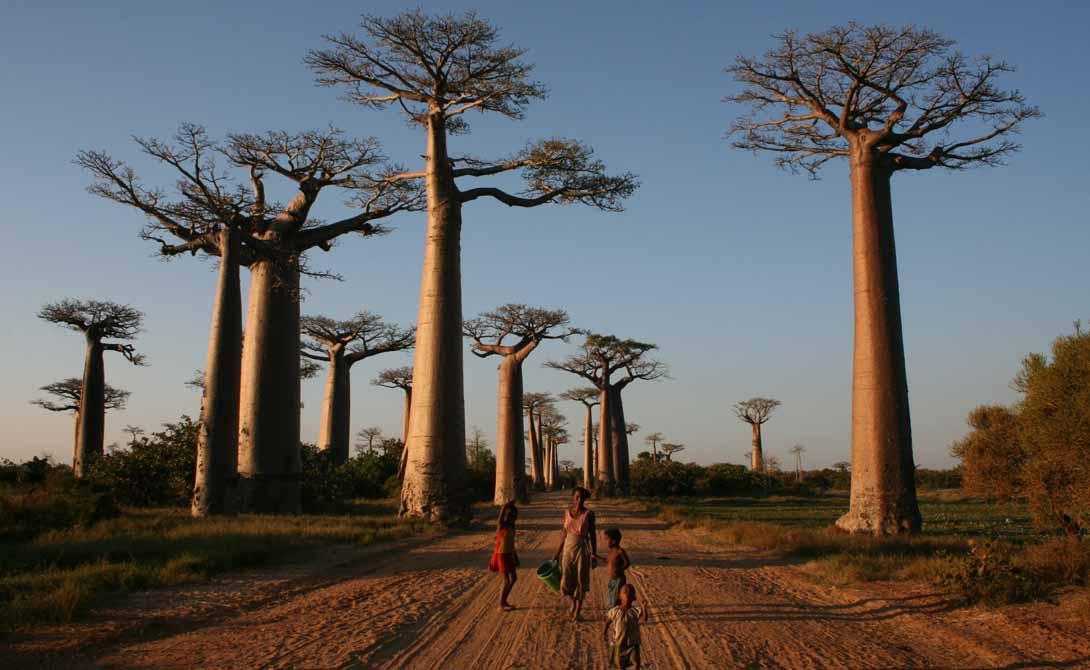 Аллея баобабов Мадагаскар Многим из местных деревьев уже перевалило за 800 лет. Баобабы умирают и уничтожаются варварскими нашествиями туристов — у вас осталось совсем немного времени, чтобы увидеть гибнущее чудо природы своими глазами.
