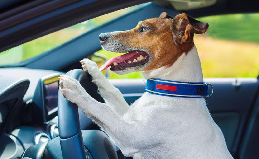 Отмена дрессировки Каждая собака нуждается в базовой дрессировке и социализации. Некоторые в большей степени, некоторые меньше — но дрессировка нужна абсолютно всем. Так пес узнает начальные правила поведения, понимает роль хозяина и учится адаптации в новом мире.
