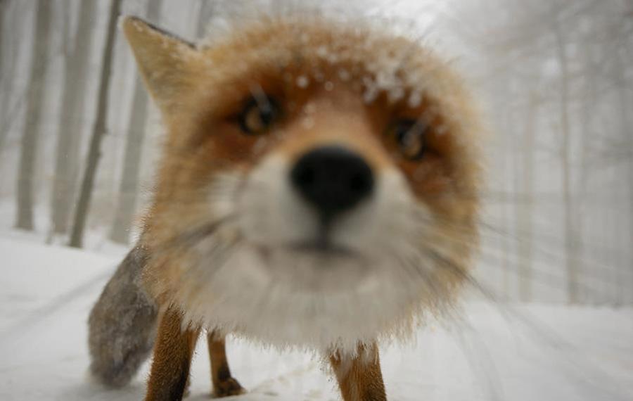 Любопытная лиса Что видит зритель