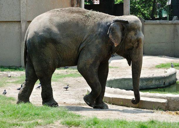 Слон и цунами Восьмилетний Янтарный Оуэн проводил свои гастроли в Таиланде. Слон как раз катал маленькую девочку по побережью, когда началось ужасное цунами. Оуэн не растерялся и сумел опередить волну, забежав прямо в фойе прибрежного отеля. Жаль, что не в посудную лавку.